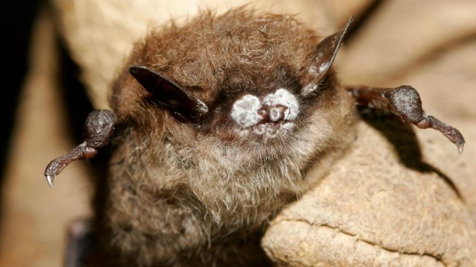 White-nose syndrome bats